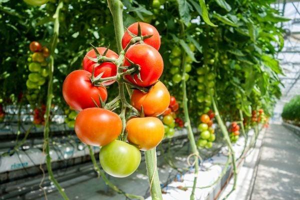 Отглежданите в оранжерия домати трябва да са добре осветени.