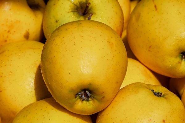 Ябълки сорт Златна превъзходна