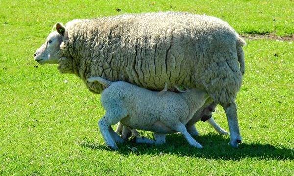 овца, агнета