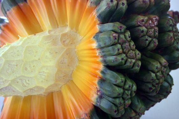 плод на панданус