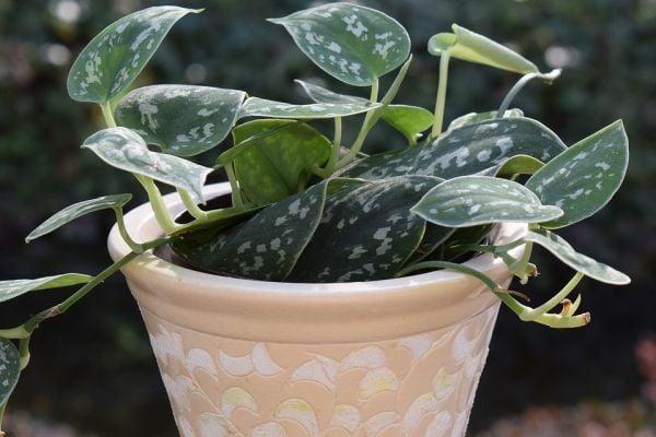 Пълзящият филодендрон е непретенциозно растение, което може да се отглежда в стая.