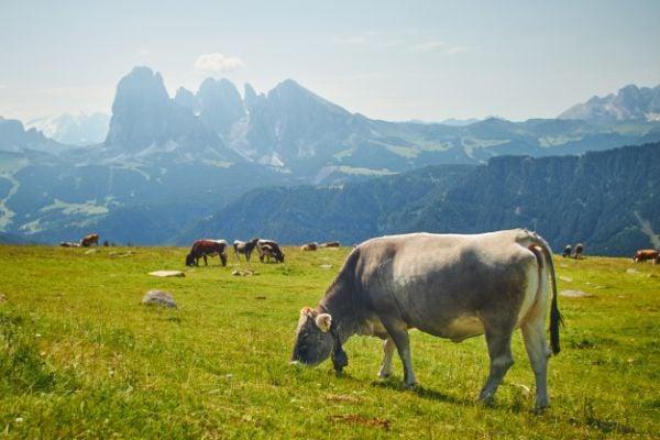 Пасищните крави произвеждат мляко, богато на омега-3 мастни киселини и линолова киселина.