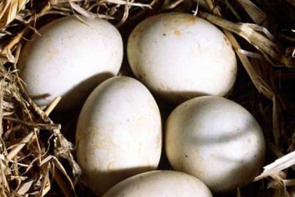 патешко яйце