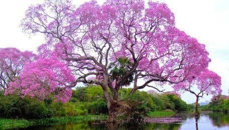 пауловния дърво
