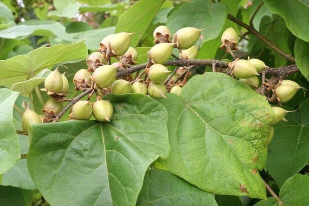 плодове на пауловния