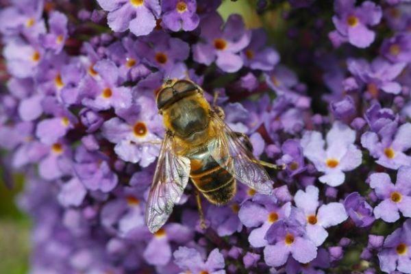 пчела върху люляк