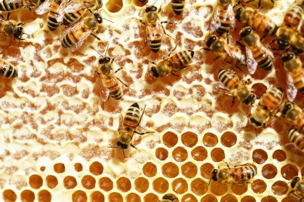пчели върху пита