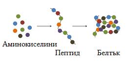 пептиди и белтъци