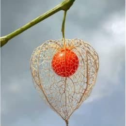 плод на мехунка