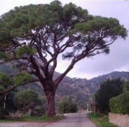 възрастно дърво пиния
