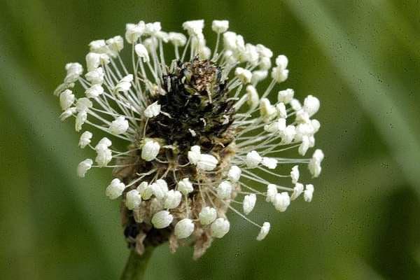 съцветие на теснолист живовляк