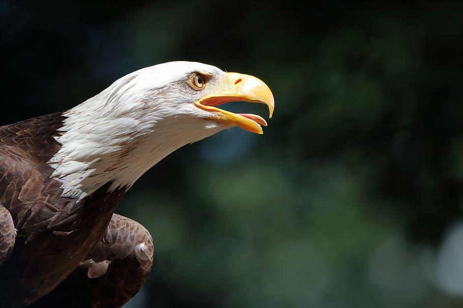 Плешив орел