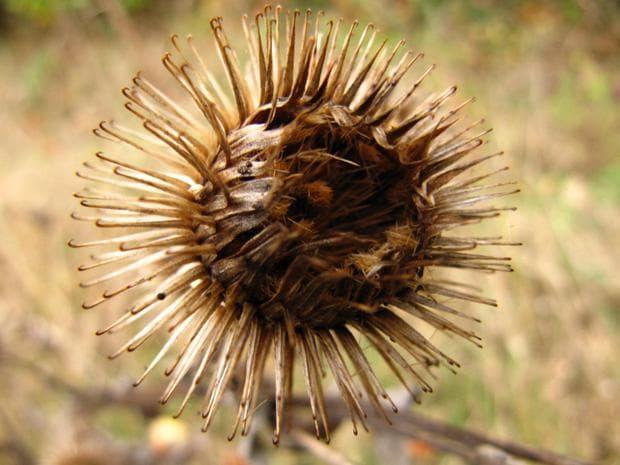 плод и семена на репей