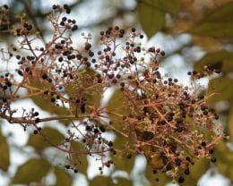плодове на аралия