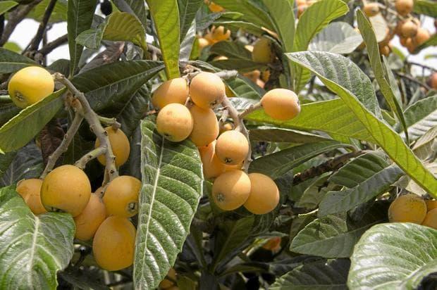 зрели плодове на японска мушмула