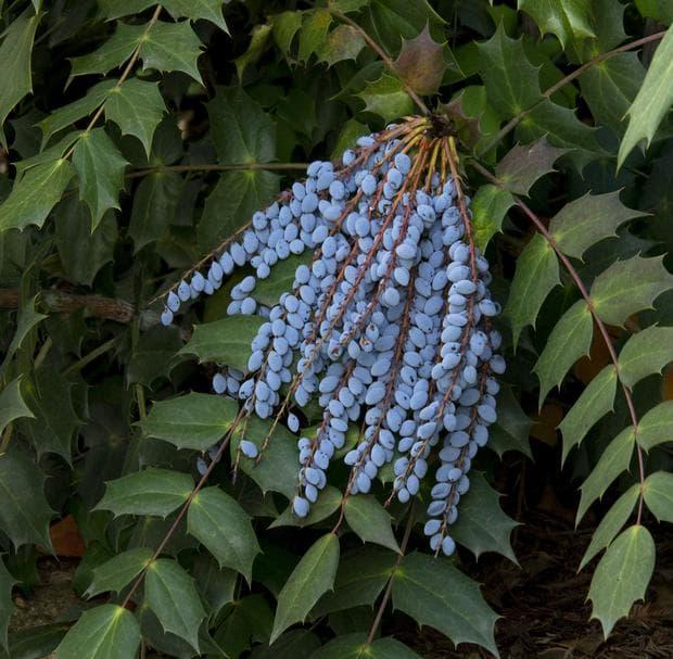 плодове на японска махония