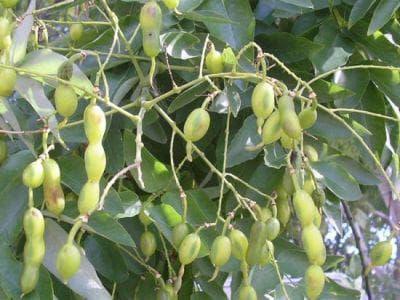 плод на японска софора