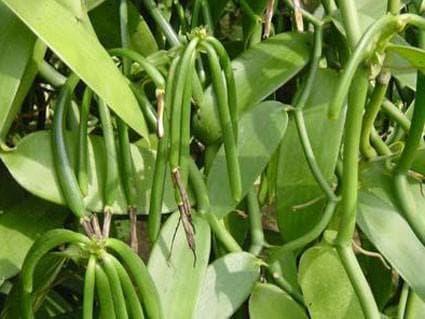плодове на ванилия