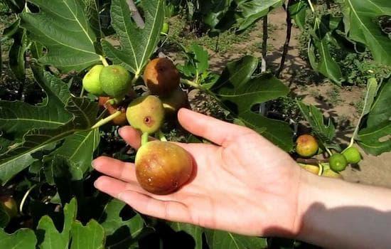смокинов плод