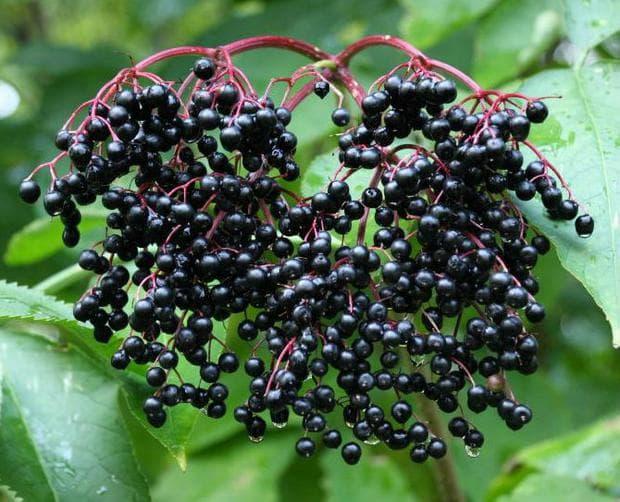 Плод черен бъз