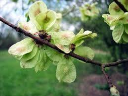 плодове на английски бряст