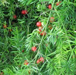 плод аспарагусови