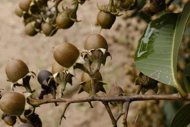 плод на банаба