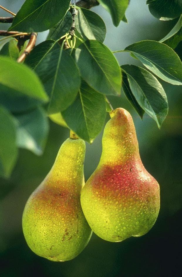 плодове на круша