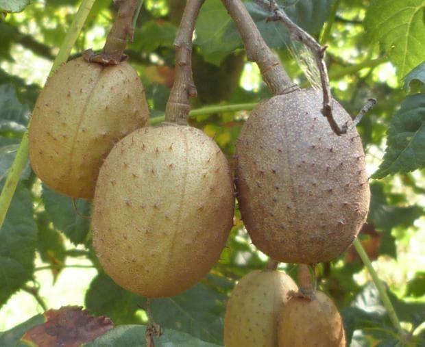 плодове на червен конски кестен