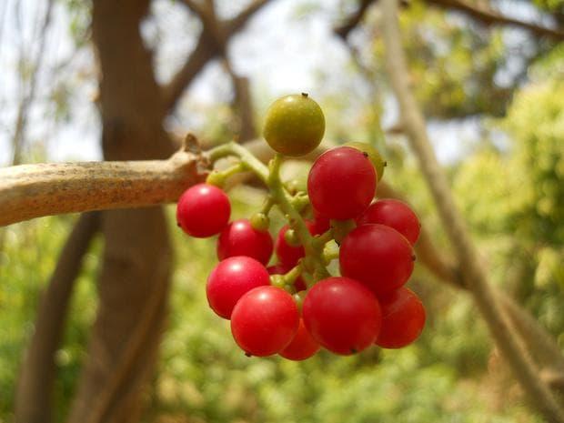 плодове на гудучи
