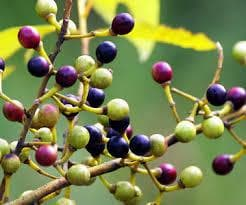 плодове на май чанг