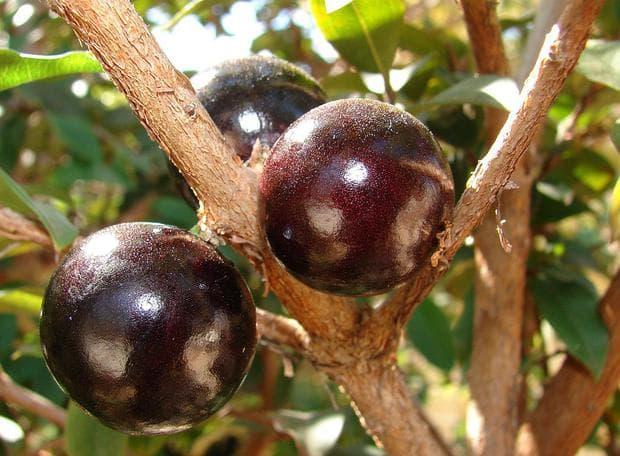 плодове на бразилско грозде