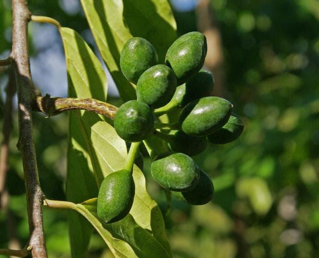 плод иланг-иланг