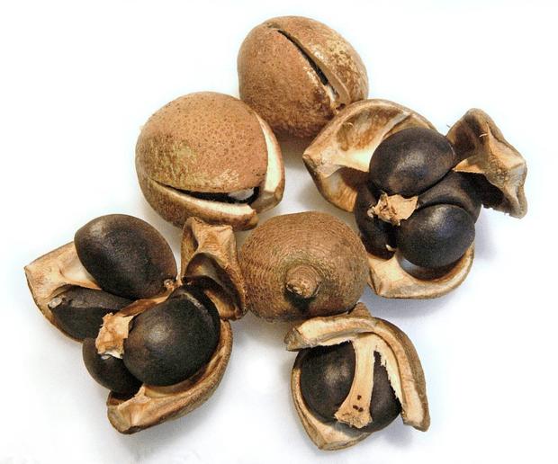 плод камелия
