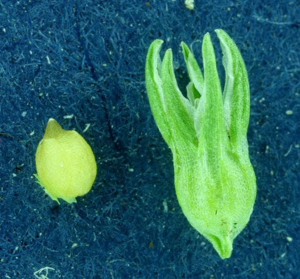 плод на хрущялка