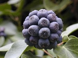 плод на бръшлян