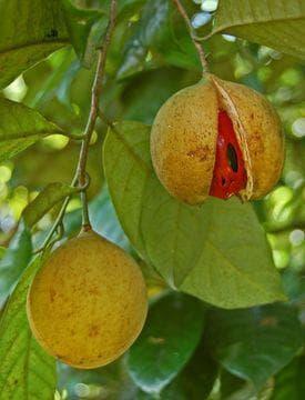 плодове на индийско орехче