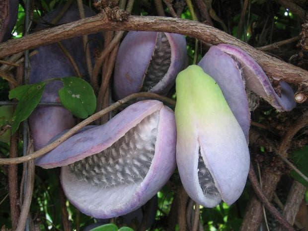 плодове на акебия
