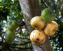 плодове на фикус хиспида