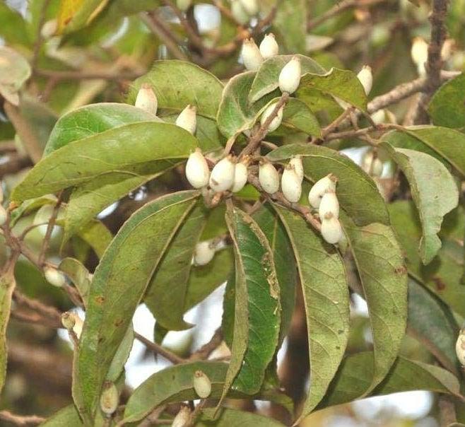 плодове на лодхра