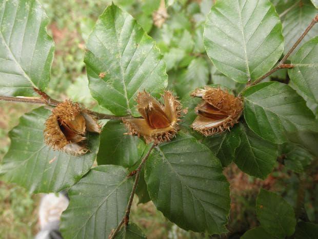 плодове и семена на бук