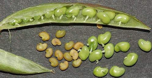 семена на астрагалус