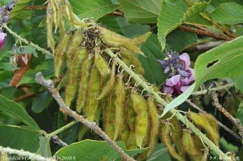плод на кудзу