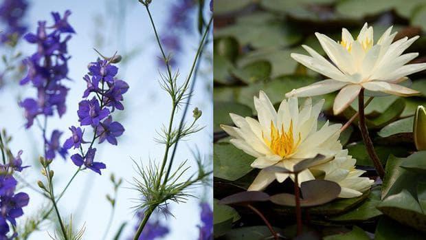 ралица и водна лилия