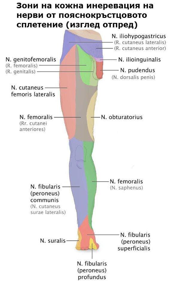Кожни зони на инервация на нерви от пояснокръстцовото сплетение
