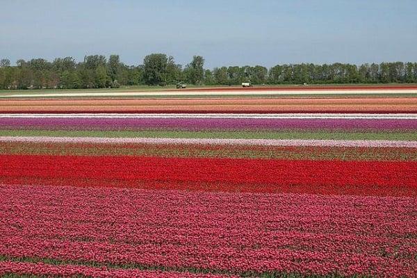 поле с лалета град Лис