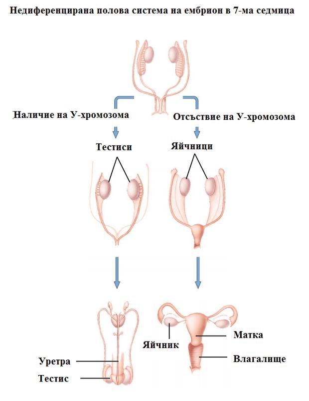 развитие на половите системи
