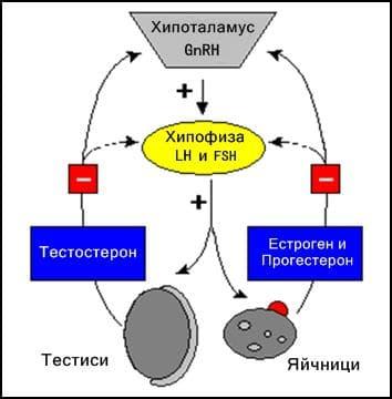 Полови хормони регулация