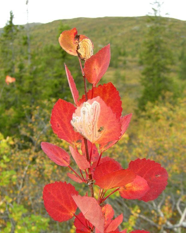листа на трепетлика през есента