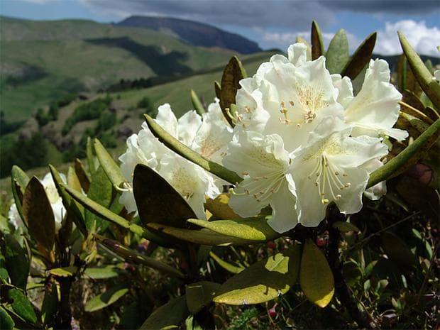 грузинска роза